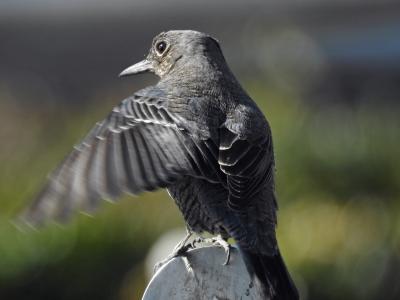 soku_35528.jpg :: 動物 鳥 野鳥 自然の鳥 イソヒヨドリ