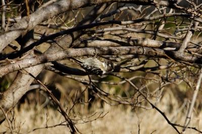 soku_35533.jpg :: 動物 野鳥 キツツキ科 コゲラ