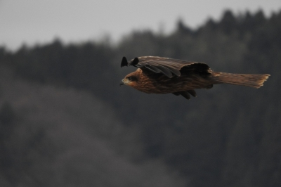 soku_35537.jpg :: 動物 鳥 猛禽類