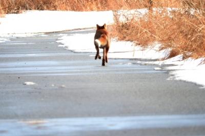 soku_35544.jpg :: 動物 哺乳類 狐 キツネ