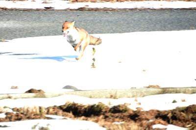 soku_35545.jpg :: 動物 哺乳類 狐 キツネ