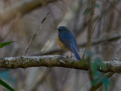 soku_35548.jpg :: 動物 鳥 野鳥 自然の鳥 ルリビタキ