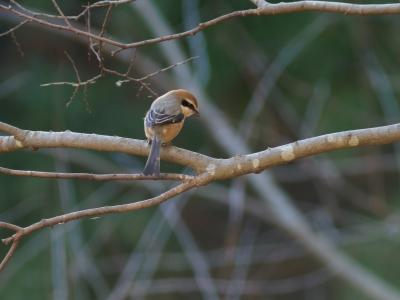 soku_35559.jpg :: 動物 鳥 野鳥 自然の鳥 モズ