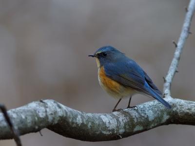 soku_35562.jpg :: 動物 鳥 野鳥 自然の鳥 ルリビタキ
