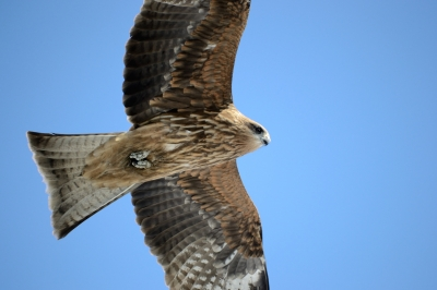 soku_35563.jpg :: 動物 鳥 猛禽類