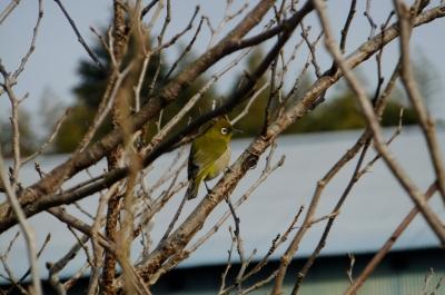 soku_35609.jpg :: 動物 野鳥 メジロ科 メジロ
