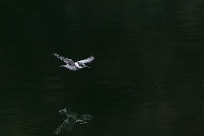 soku_35619.jpg :: 動物 鳥 野鳥 自然の鳥 ヤマセミ