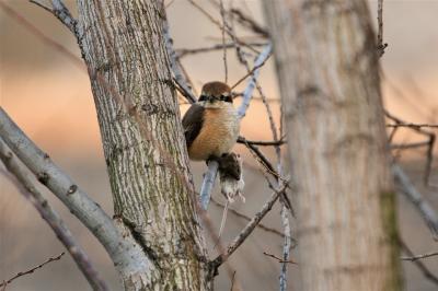 soku_35626.jpg :: 動物 鳥 野鳥 自然の鳥 未記入鳥