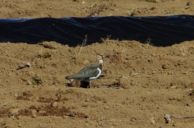 soku_35639.jpg :: 動物 野鳥 チドリ科 タゲリ