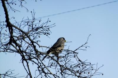 soku_35645.jpg :: 動物 野鳥 アトリ科 イカル