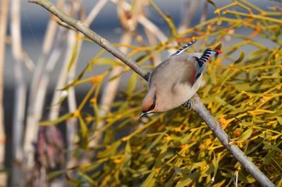 soku_35655.jpg :: 動物 鳥 野鳥 自然の鳥 ヒレンジャク