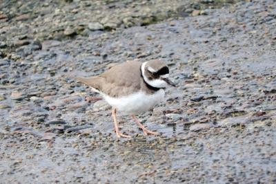 soku_35659.jpg :: 動物 鳥 野鳥 自然の鳥 未記入鳥