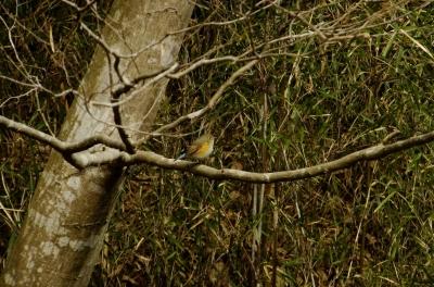 soku_35676.jpg :: 動物 鳥 野鳥 自然の鳥 ルリビタキ