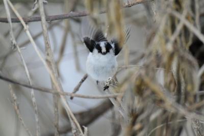 soku_35689.jpg :: 動物 鳥 野鳥 自然の鳥 エナガ