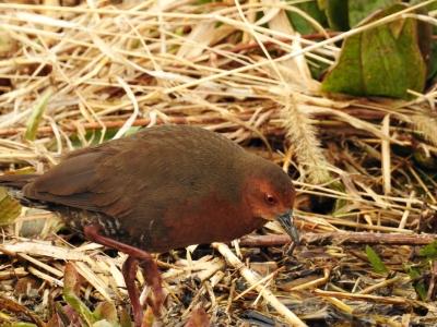soku_35691.jpg :: 動物 鳥 野鳥 自然の鳥 メジロ
