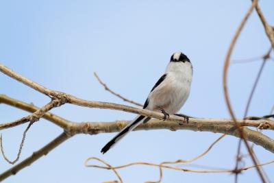 soku_35697.jpg :: 動物 鳥 野鳥 自然の鳥 エナガ