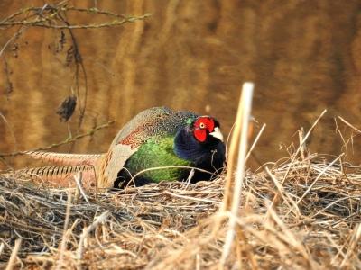 soku_35717.jpg :: 動物 鳥 野鳥 自然の鳥 雉 キジ