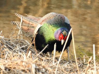 soku_35718.jpg :: 動物 鳥 野鳥 自然の鳥 雉 キジ