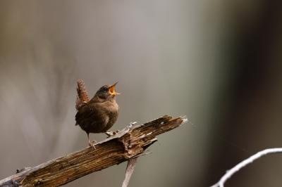 soku_35729.jpg :: 動物 鳥 野鳥 自然の鳥 ミソサザイ