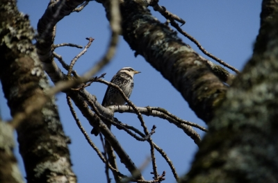 soku_35739.jpg :: 動物 野鳥 ヒタキ科 ツグミ