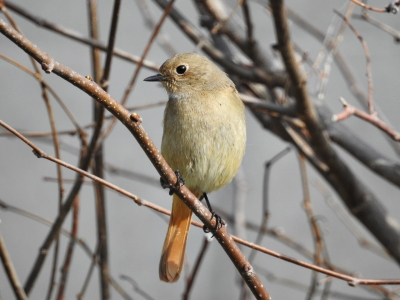 soku_35749.jpg :: 動物 鳥 野鳥 自然の鳥 ジョウビタキ メス ♀
