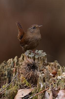 soku_35755.jpg :: 動物 鳥 野鳥 自然の鳥 ミソサザイ