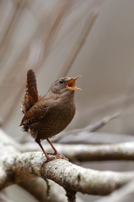 soku_35756.jpg :: 動物 鳥 野鳥 自然の鳥 ミソサザイ