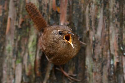 soku_35757.jpg :: 動物 鳥 野鳥 自然の鳥 ミソサザイ