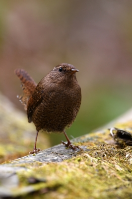soku_35761.jpg :: 動物 鳥 野鳥 自然の鳥 ミソサザイ