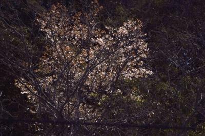 soku_35769.jpg :: 植物 花 桜 サクラ