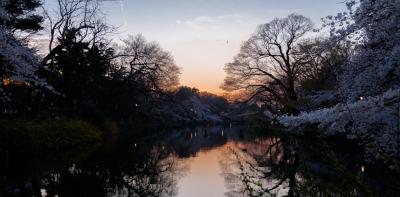 soku_35777.jpg :: 井の頭公園 桜 夕焼け