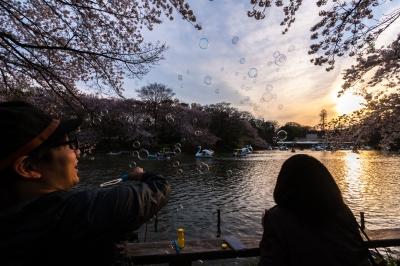 soku_35779.jpg :: 井の頭公園 桜 夕日 シャボン玉