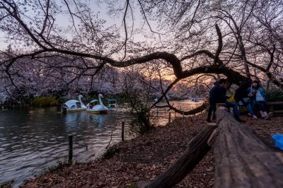 soku_35780.jpg :: 井の頭公園 桜 夕焼け スワン