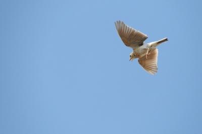soku_35784.jpg :: ひばり 動物 鳥 野鳥 自然の鳥 ヒバリ