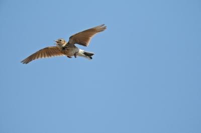 soku_35785.jpg :: ひばり 動物 鳥 野鳥 自然の鳥 ヒバリ