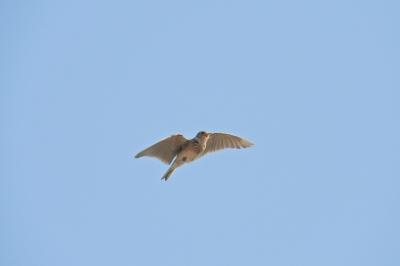 soku_35786.jpg :: ひばり 動物 鳥 野鳥 自然の鳥 ヒバリ