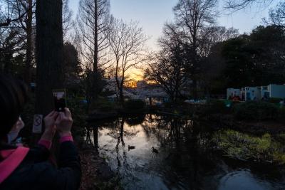 soku_35788.jpg :: 井の頭公園 夕焼け 桜