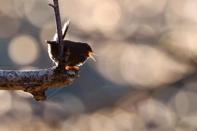 soku_35789.jpg :: 動物 鳥 野鳥 自然の鳥 ミソサザイ