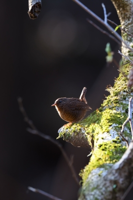 soku_35790.jpg :: 動物 鳥 野鳥 自然の鳥 ミソサザイ