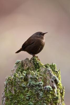 soku_35793.jpg :: 動物 鳥 野鳥 自然の鳥 ミソサザイ