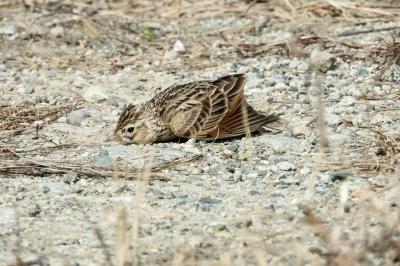 soku_35796.jpg :: 動物 鳥 野鳥 自然の鳥 ヒバリ ひばり