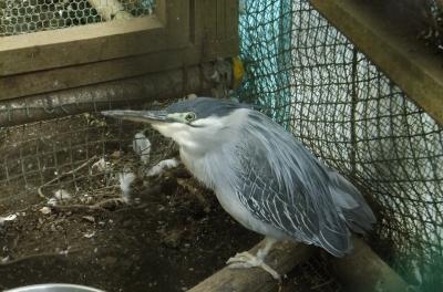 soku_35803.jpg :: 動物 野鳥 サギ科 ササゴイ