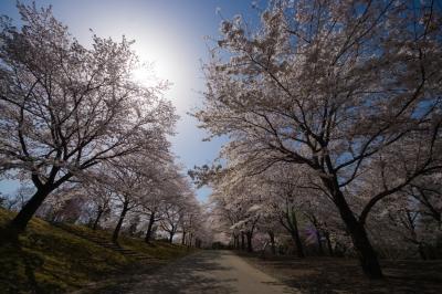 soku_35804.jpg :: 植物 花 桜 サクラ 逆光