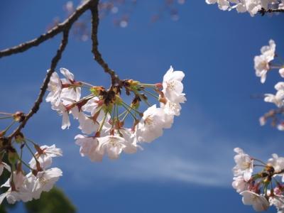 soku_35806.jpg :: SAKURA 植物 花 桜 サクラ 花びら