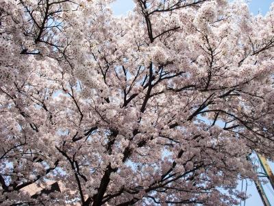 soku_35807.jpg :: 植物 花 桜 サクラ 満開
