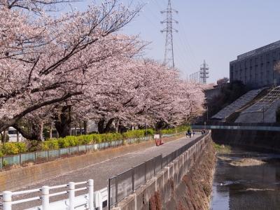 soku_35808.jpg :: 植物 花 桜 サクラ