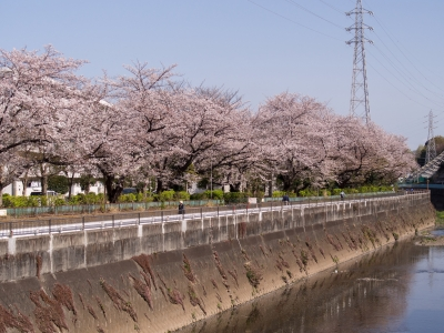 soku_35809.jpg :: 植物 花 桜 サクラ