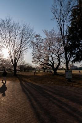 soku_35814.jpg :: 公園 逆光 長い影 桜