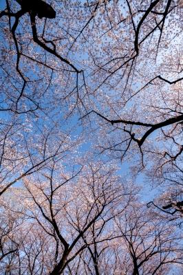 soku_35815.jpg :: 植物 花 桜 サクラ