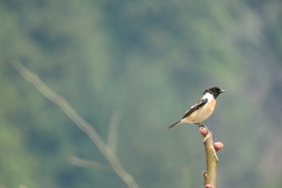 soku_35820.jpg :: 動物 鳥 野鳥 自然の鳥 ノビタキ